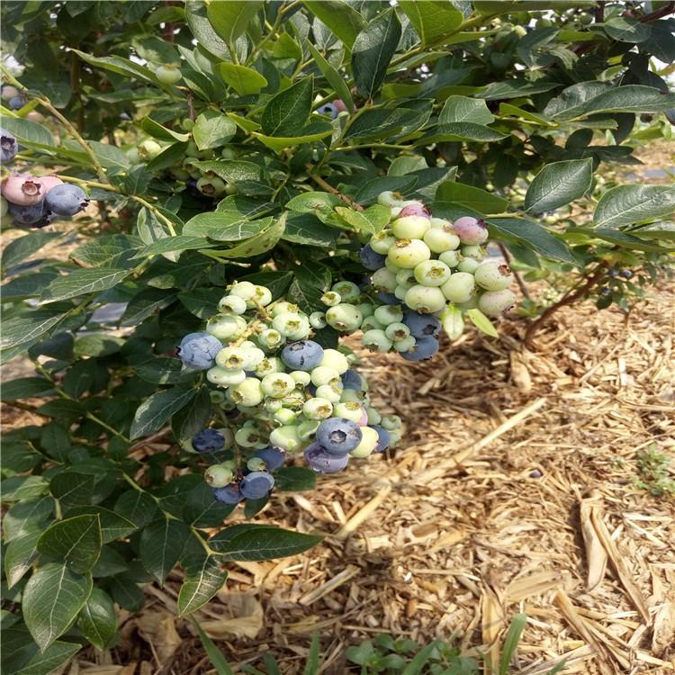 优质蓝莓苗优质蓝莓苗种植方法大量供应优质蓝莓苗