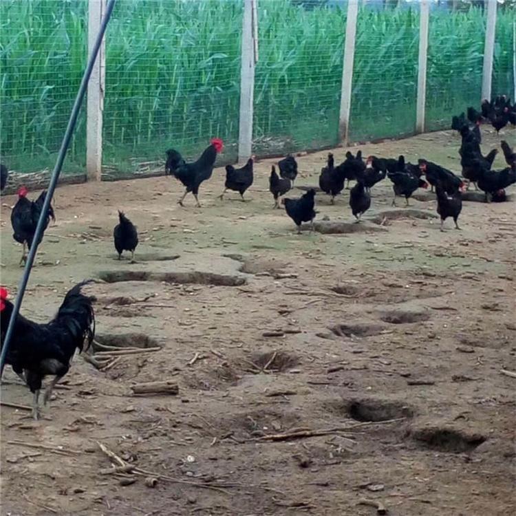 绿色营养五黑一绿绿壳蛋鸡苗 厂家热销 隆航 优质多蛋绿壳蛋鸡苗 活体苗五黑绿壳蛋鸡苗