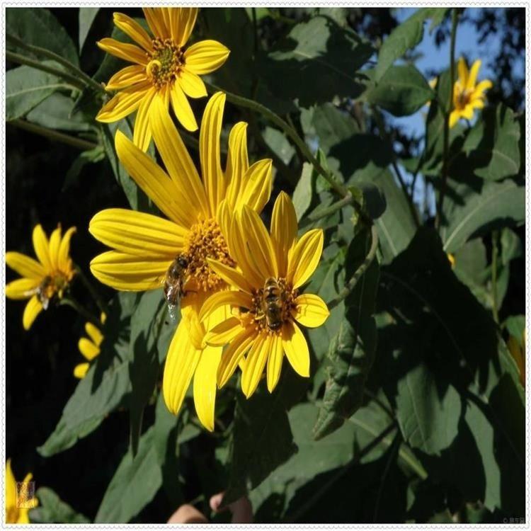 多年生宿根 牧草种子 一级草花种子 串叶松香草种子 优质高产草籽