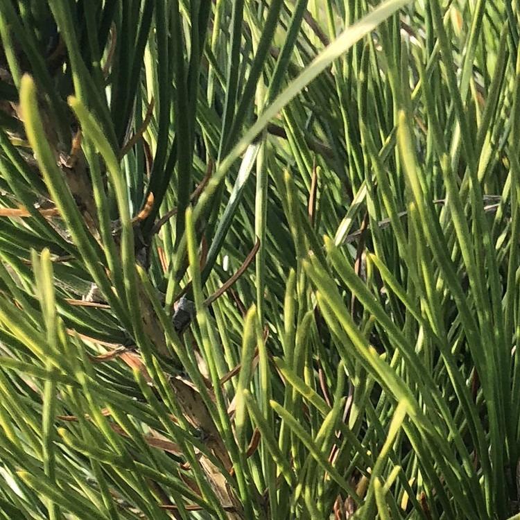 黑松小苗规格 量大从优黑松树 品种多样 松柏翰 基地自产自销黑松树 厂家优质